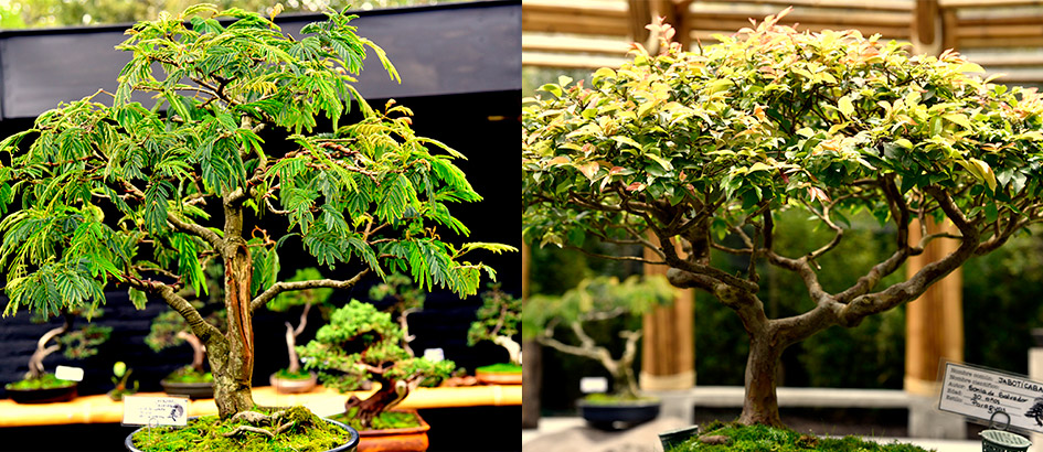 Museo Bonsai